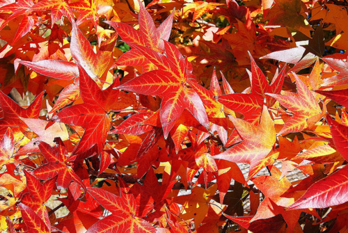Red Autumn Leaves Pictures Photos And Images For