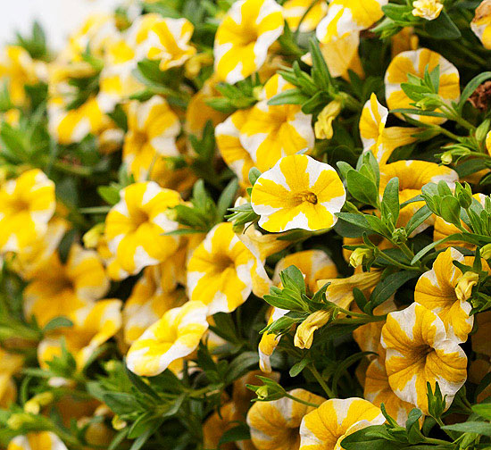 Superbells Lemon Slice Calibrachoa Pictures Photos And