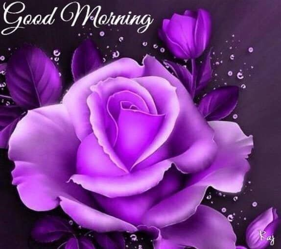 Purple Good Morning Rose Pictures, Photos, and Images for ...