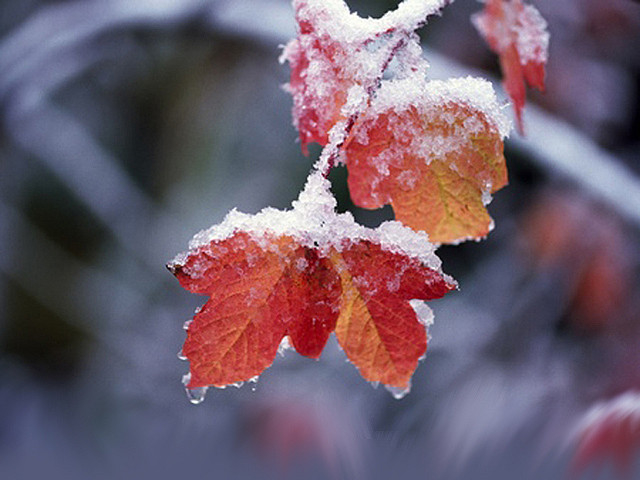 Snow On The Leaves Pictures Photos And Images For
