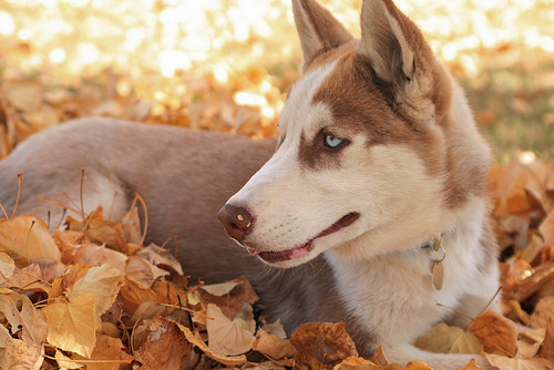 husky in the fall pictures photos and images for