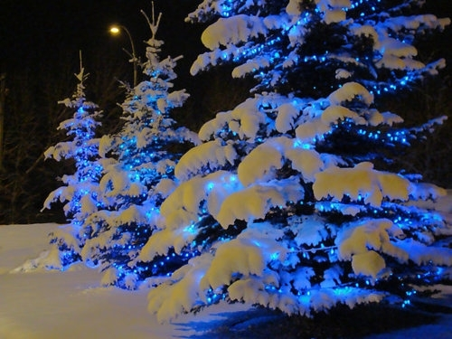 Snow on christmas trees pictures photos and images for