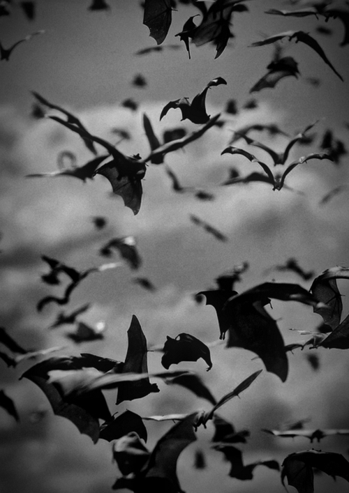 Flying Bats Pictures Photos And Images For Facebook
