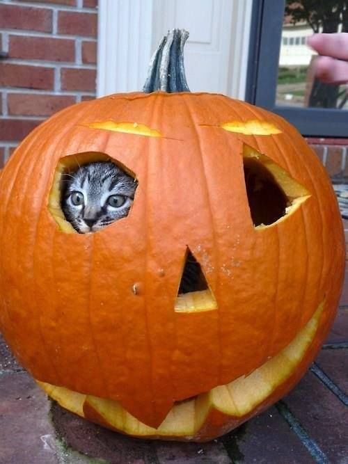 Pumpkin hiding cat pictures photos and images for for Pumpkin kitty designs
