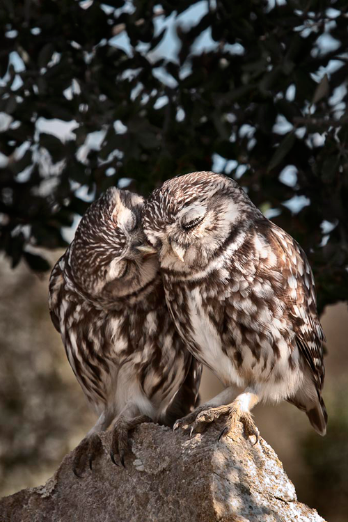 Owl Kiss Pictures, Photos, and Images for Facebook, Tumblr