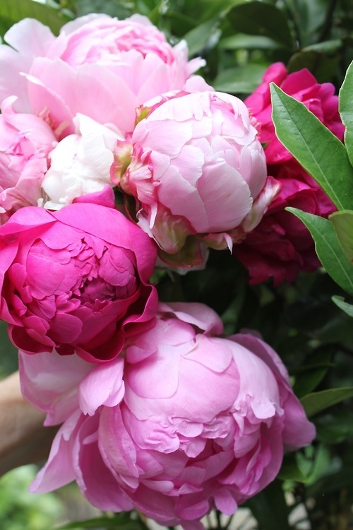 pink peony — crafthubs
