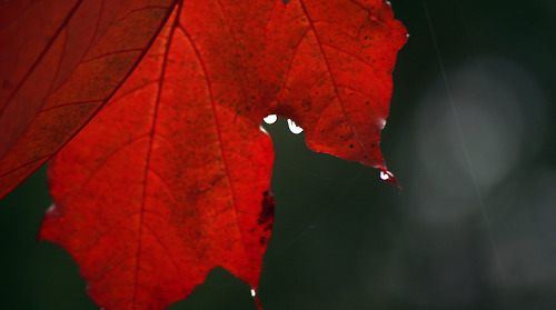Wet Red Leaf Pictures Photos And Images For Facebook