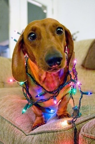 dog wrapped in christmas lights - Dog Christmas Lights