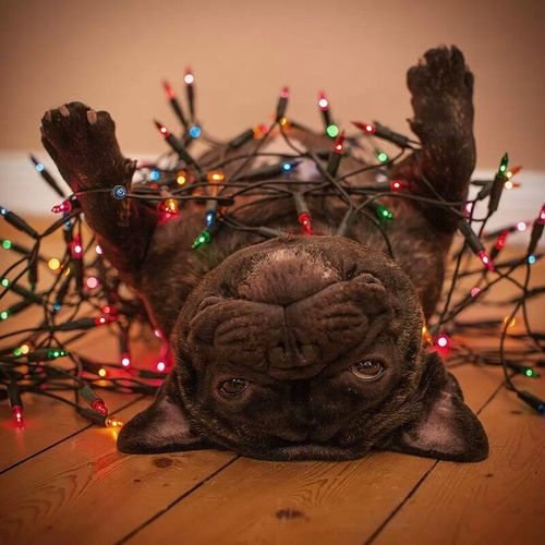 French Bulldog in Christmas Lights
