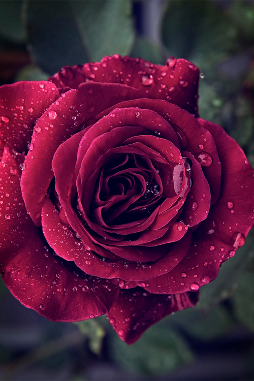 Succulent Red Rose Pictures, Photos, and Images for ...Red Roses Tumblr Photography