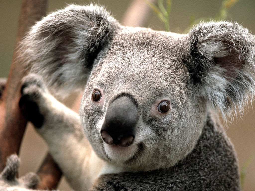 Koala Pictures, Photos, and Images for Facebook, Tumblr, Pinterest, and  Twitter