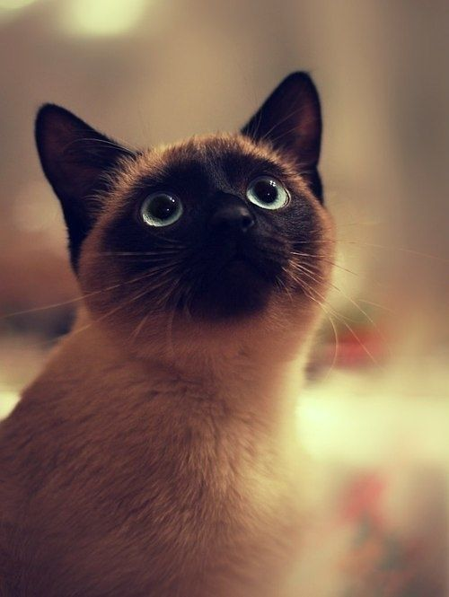 sweet siamese cat pictures photos and images for