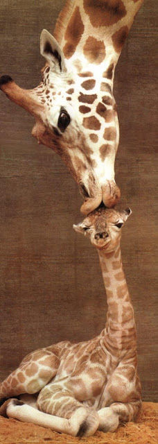 Giraffe Kiss Pictures Photos And Images For Facebook