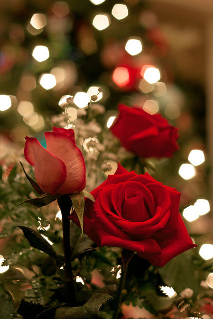 Beautiful Red Roses Pictures Photos And Images For