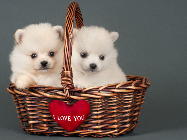 Puppies For Valentineu0027s Day