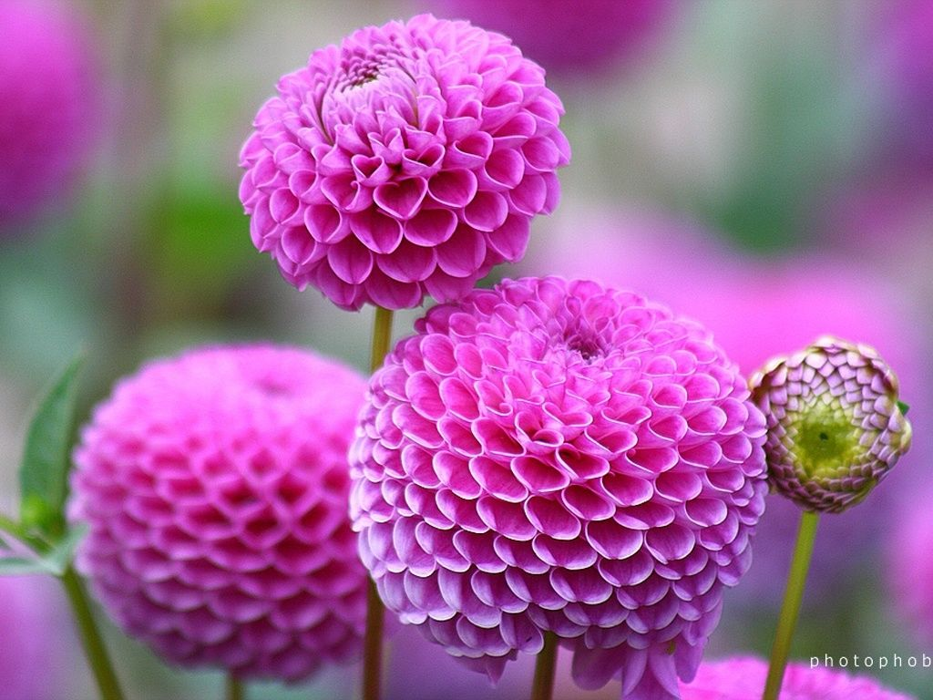 Pink dahlias pictures photos and images for facebook tumblr pink dahlias izmirmasajfo
