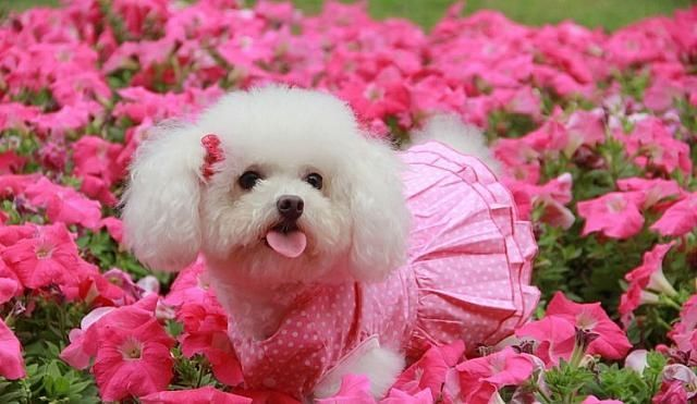 Bichon Frise & Petunias Pictures, Photos, And Images For
