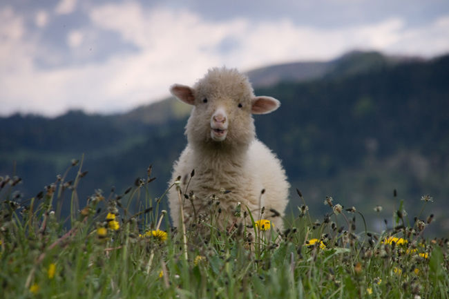 Happy Sheep Pictures, Photos, and Images for Facebook ...