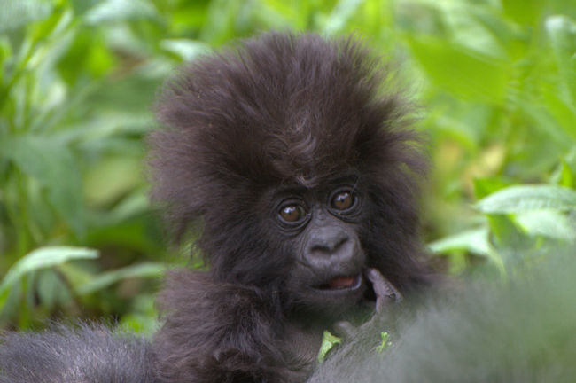 Cute baby gorilla - photo#14