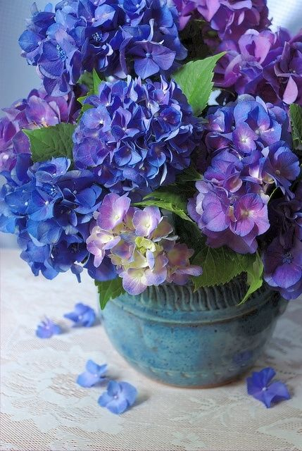 Beautiful Blue Hydrangeas Pictures Photos And Images For