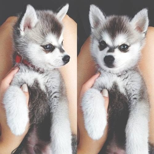 Famosos Puppy Husky Pictures, Photos, and Images for Facebook, Tumblr  PV36
