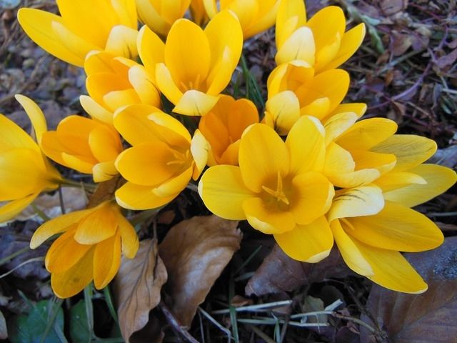 Yellow crocus flowers pictures photos and images for facebook yellow crocus flowers mightylinksfo