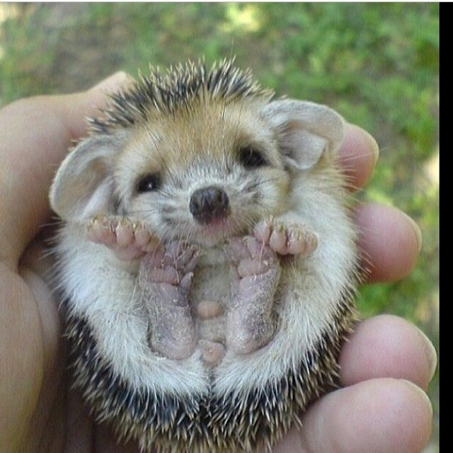 Baby Hedgehog Pictures Photos And Images For Facebook