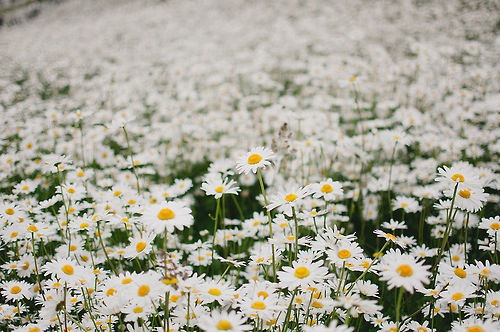 Field Of Daisies Pictures, Photos, And Images For Facebook