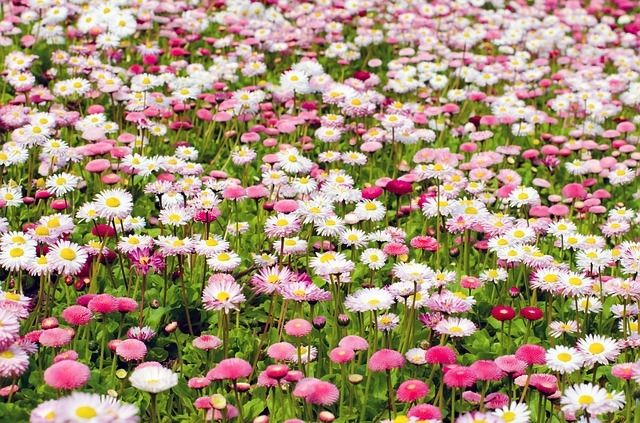Field Of Pink And White Flowers Pictures Photos And Images For