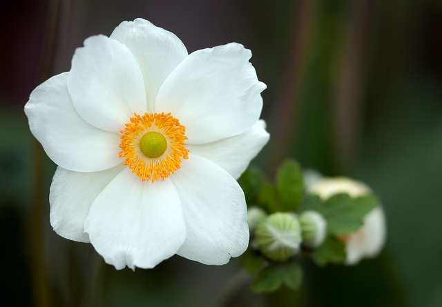 White anemone flower pictures photos and images for facebook white anemone flower mightylinksfo