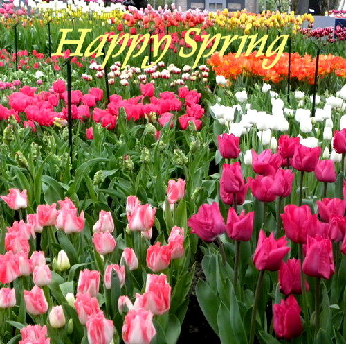 Happy Spring Tulip Field Pictures, Photos, and Images for ...