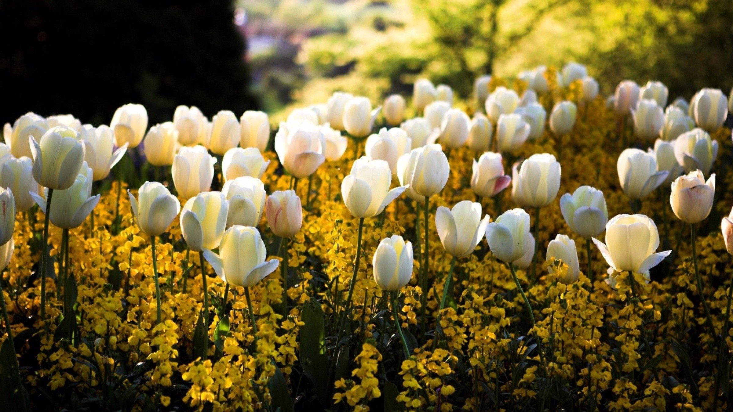 White tulips yellow flowers pictures photos and images for white tulips yellow flowers mightylinksfo