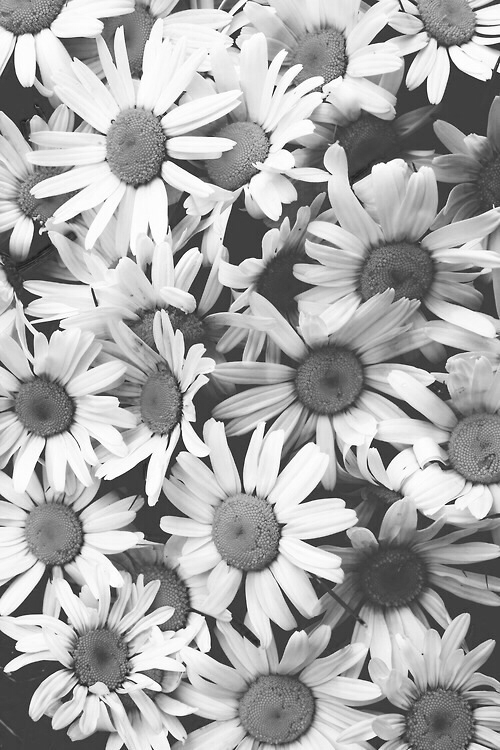 Desaturated daisies pictures photos and images for Where did daisies originate