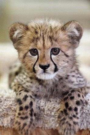 Cheetah Cub Pictures, Photos, And Images For Facebook ...