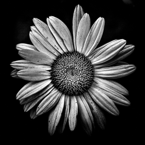 Black And White Daisy Pictures Photos And Images For