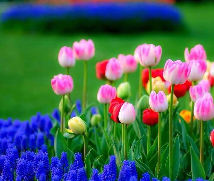 tulips in the spring - photo #28