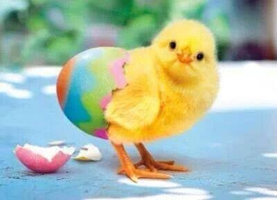 New Baby Chick Pictures, Photos, and Images for Facebook, Tumblr ...