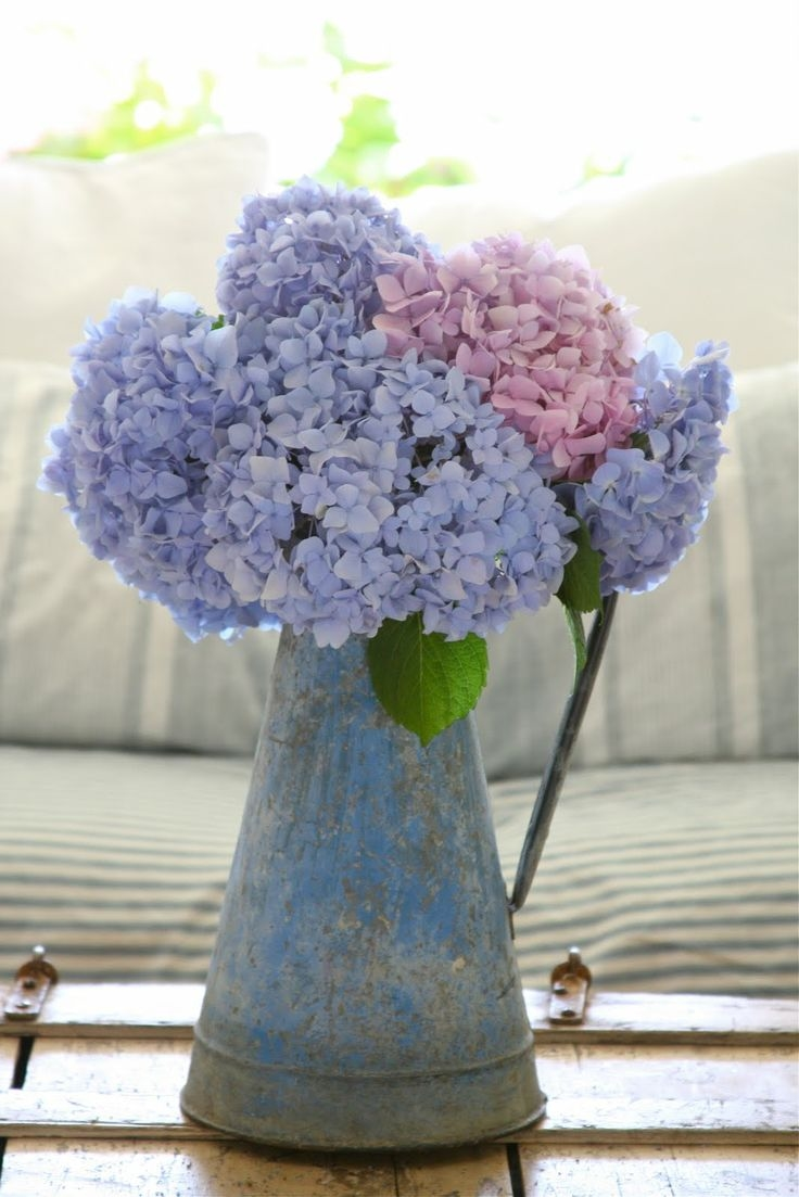 Pink & Lavender Hydrangeas Pictures, Photos, and Images