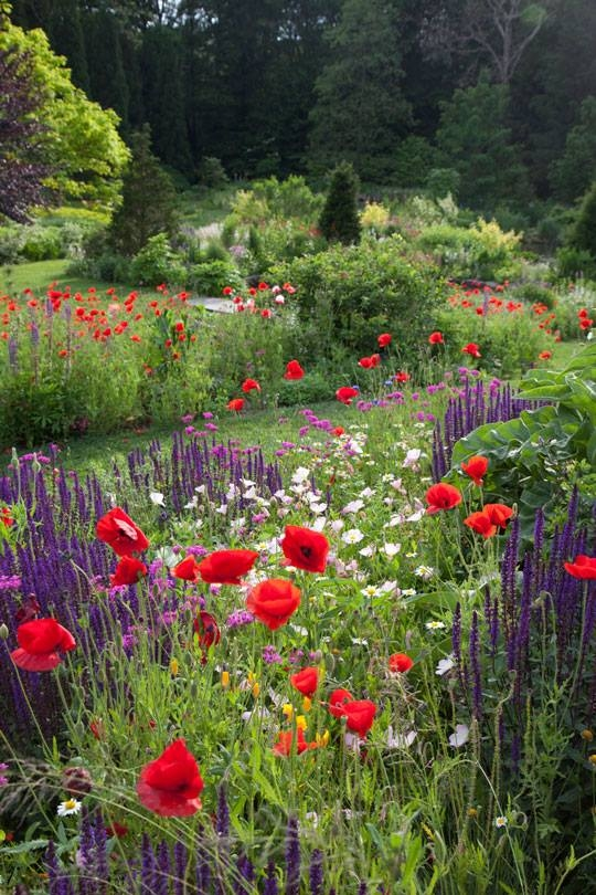 Poppies Amp Salvia Garden Pictures Photos And Images For