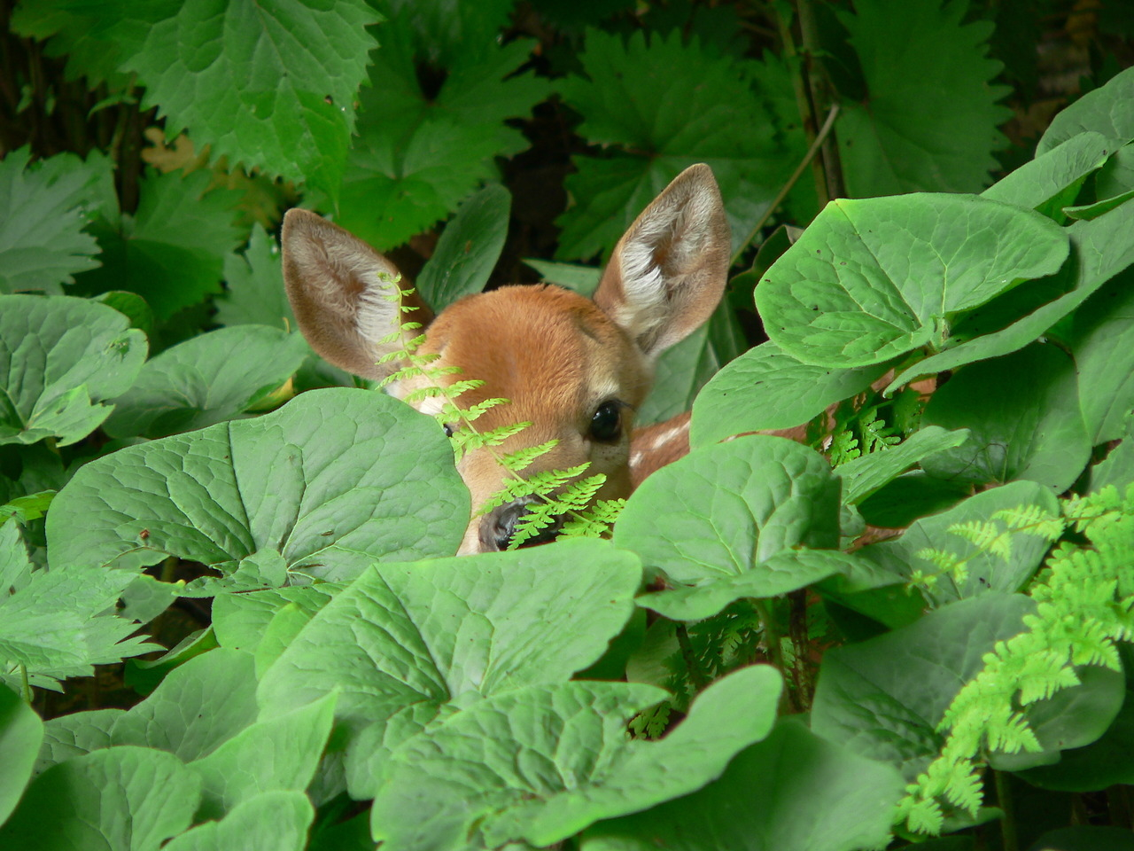 Peeking Deer Pictures, Photos, and Images for Facebook