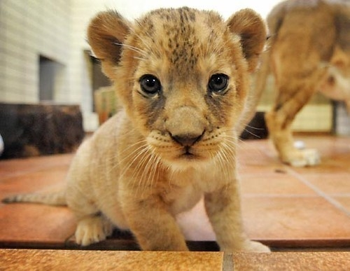 Cute Baby Lion Pictures Photos and Images for Facebook Tumblr