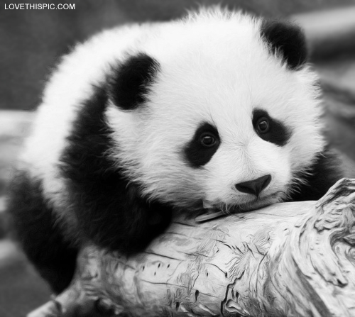 Cute Panda Pictures Photos And Images For Facebook Tumblr