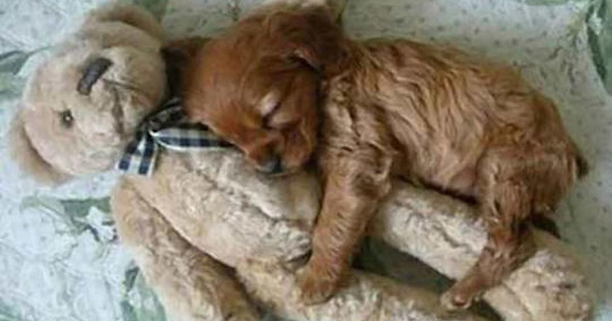 Resultado de imagem para dogs that look like teddy bears
