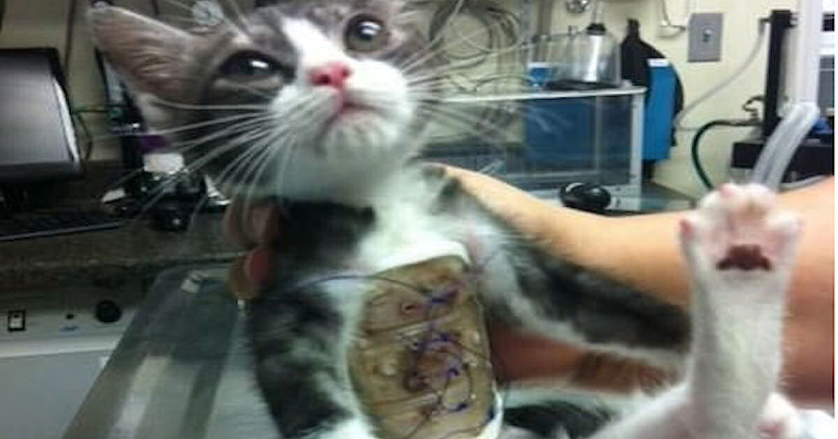 this cat was born without a rib cage    pictures  photos  and images for facebook  tumblr