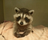 Cutest Racoon Ever