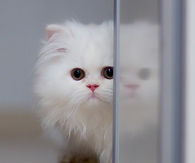 Pretty White Kitten