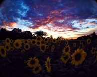Rainbow sky and sunflower field