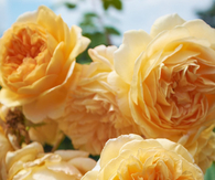 Soft yellow roses
