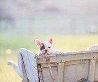 Puppy in a Wheelbarrow