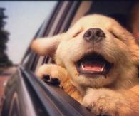 Happy Puppy on a Car Ride